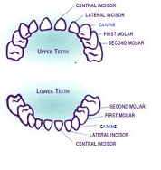 Timing of milk teeth